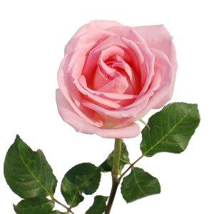 Vivaldi_Pink_Rose_300